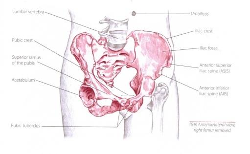 iliac bone