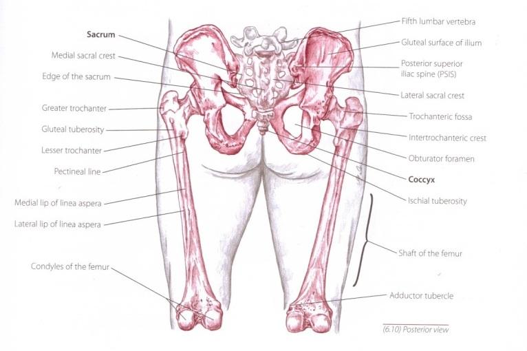iliac bone1