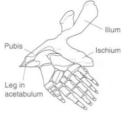pelvis ancient