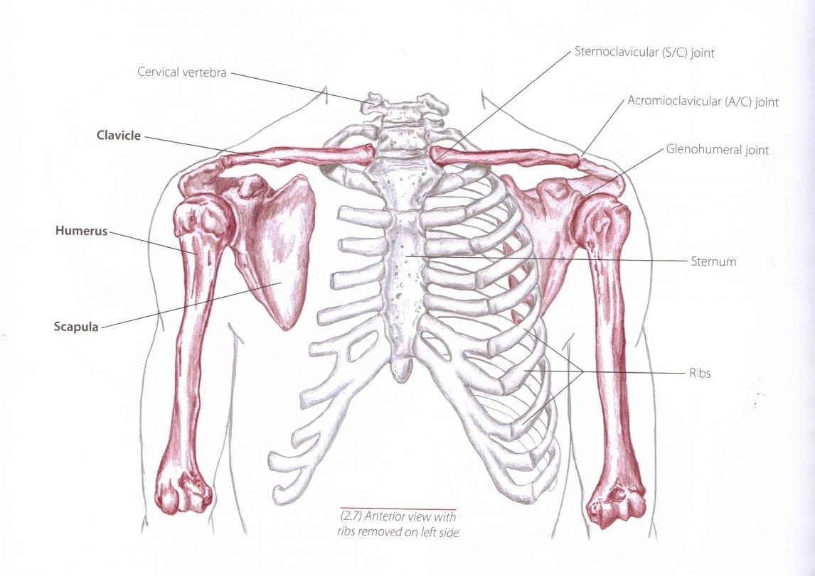 shoulder girdle – Expression of Health